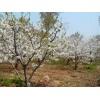 供应欧洲甜樱桃树