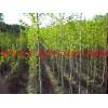 出售辽宁丹东产银杏树种子,多年生银杏树苗