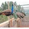 哪里有【蓝孔雀】;【白孔雀养殖场】