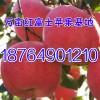 大量出售优质红富士苹果