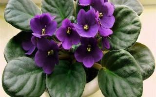 非洲紫罗兰的养殖方法