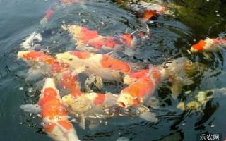 致富技术:锦鲤养殖技术