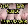 山东三元仔猪供应基地15953983808