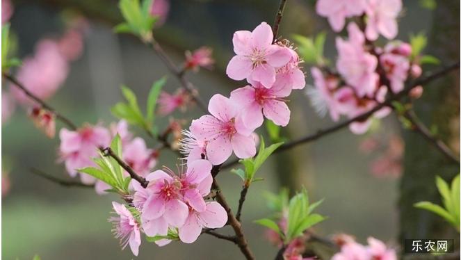 桃花樱花区别