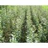 翅果油、荒山造林翅果油苗木供应商、山西春秋苗木