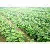 供应新品种葡萄苗、夏黑、新华1号、维多利亚、巨峰
