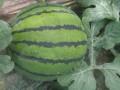 西瓜品种、皮毛质量 (3图)