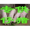 15762366966山东仔猪供应基地山东仔猪产地价格