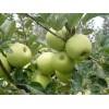 黄金帅苹果大量上市价格便宜