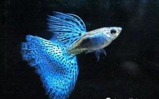 饲养孔雀鱼如何确保缸内的水质
