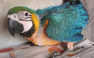 鹦鹉幼鸟饲养与常见疾病防治