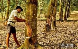 泰国经济损失约274亿铢 橡胶种植农受影响最严重