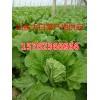 15762366966山东大棚白菜批发价格莒县白菜种植基地