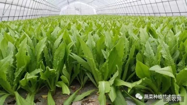 春天大棚油麦怎样种植_国内新闻_资讯_乐农网