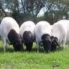 敖汉旗怀孕母牛市场价格怀孕母牛品种品种