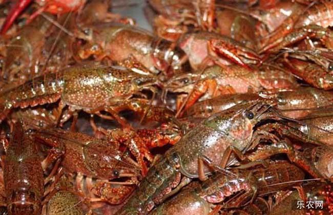 龙虾网箱养殖技术