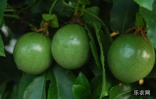 百香果栽培方法  百香果种植技术详解
