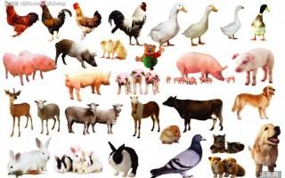家禽大肠杆菌病的防治