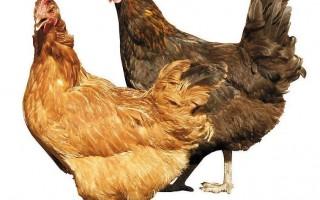 鸡免疫抑制性疾病的发生原因