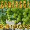 陕西大荔青提葡萄种植基地青提葡萄产地价格便宜了