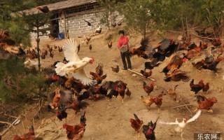 生态养鸡知多少