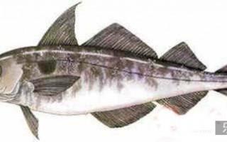 俄罗斯鳕鱼等鱼类将直接出口巴西