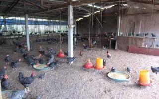 夏季炎热,生态养殖发酵床管理小妙招
