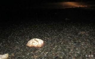 小龙虾在澳洲不受欢迎,河水干涸亿万小龙虾无家可归