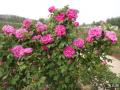 玫瑰扦插育苗