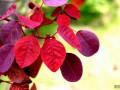 紫叶黄栌繁殖栽培技术