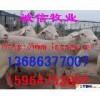 杜蒙县纯种杜泊羊规模养殖杜蒙县杜泊肉羊价格杜泊种羊价格