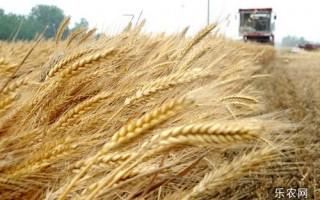 9月份小麦价格上涨行情仍可期待