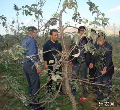 秋季修剪苹果树分段转枝效果好