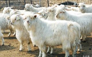 羊价起飞养羊户终于迎来生机