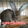 养殖50只杂交野兔需要多少钱