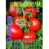 山东莘县西红柿大量上市