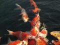 锦鲤是属于什么类?锦鲤花纹的特点