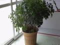八方来财树的养殖方法及生活习性