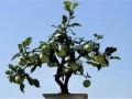盆栽桃树怎么栽培管理