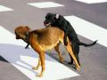 狗的配种受胎时间及交配注意事项