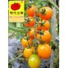 高品质番茄品种黄小蜜待字闺中等婆家,娘家广西现代立新农业公司