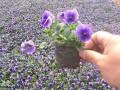 三色堇日光温室栽培技术
