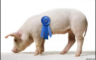 规模养殖场猪瘟病防治措施