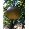 红花大果油茶苗之乡油茶树苗新品种,油茶苗培育基地油茶苗繁育