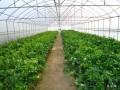 蔬菜大棚巧用草木灰