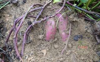 紫心番薯种植技术