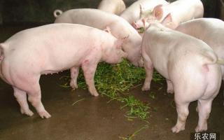 哺乳期的母猪饲养计划