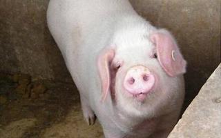 如何促进母猪发情排卵?