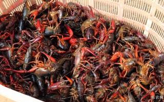 福建建瓯:养殖小龙虾 走上致富路