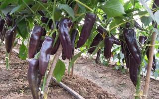 茄果类蔬菜怎么实现早熟高产